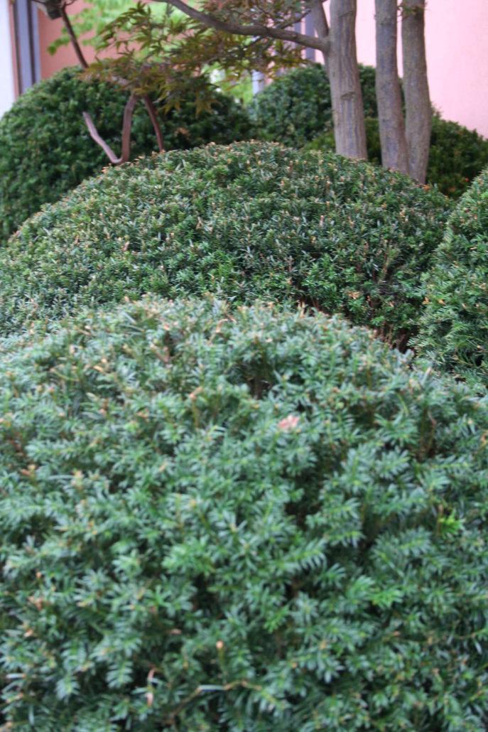 Evergreen Gartenbau solitärbaum alex gartenbau