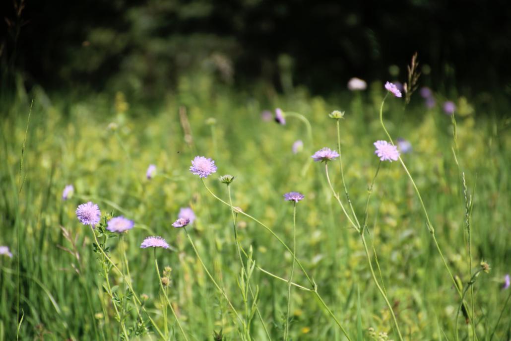 Samen Gras Blumen