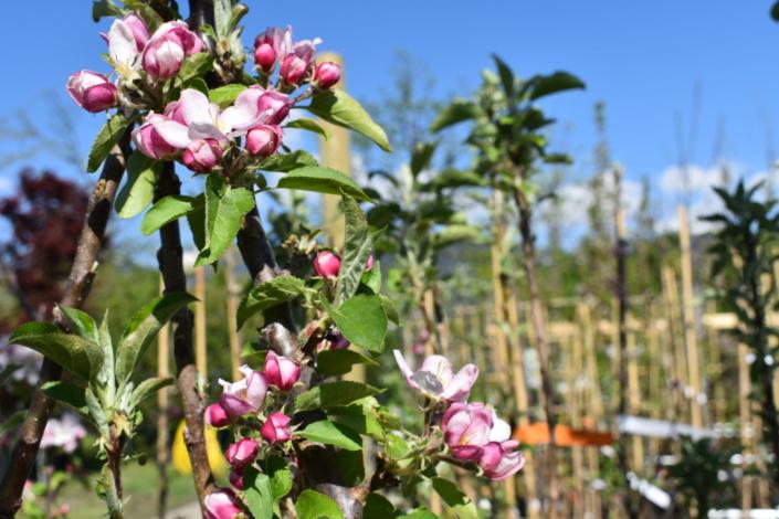 Tag der offenen Tür bei alex gartenbau-Apfelbaum
