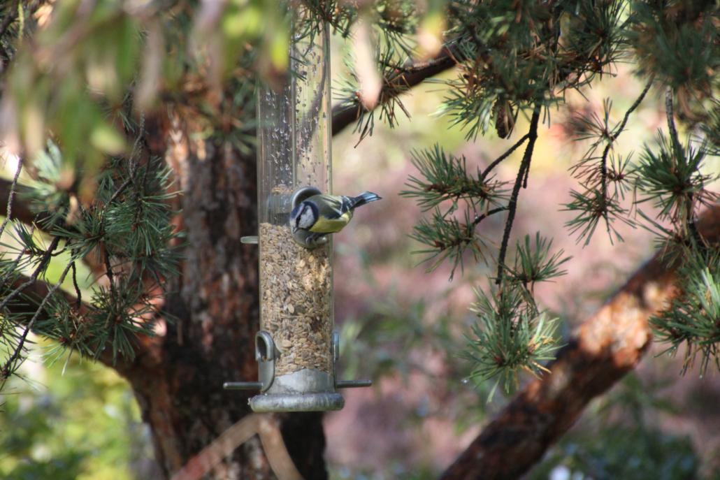 Blaumeise Vogel Futtersäule