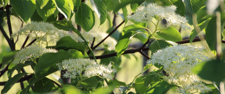 Strauch Blütenstrauch
