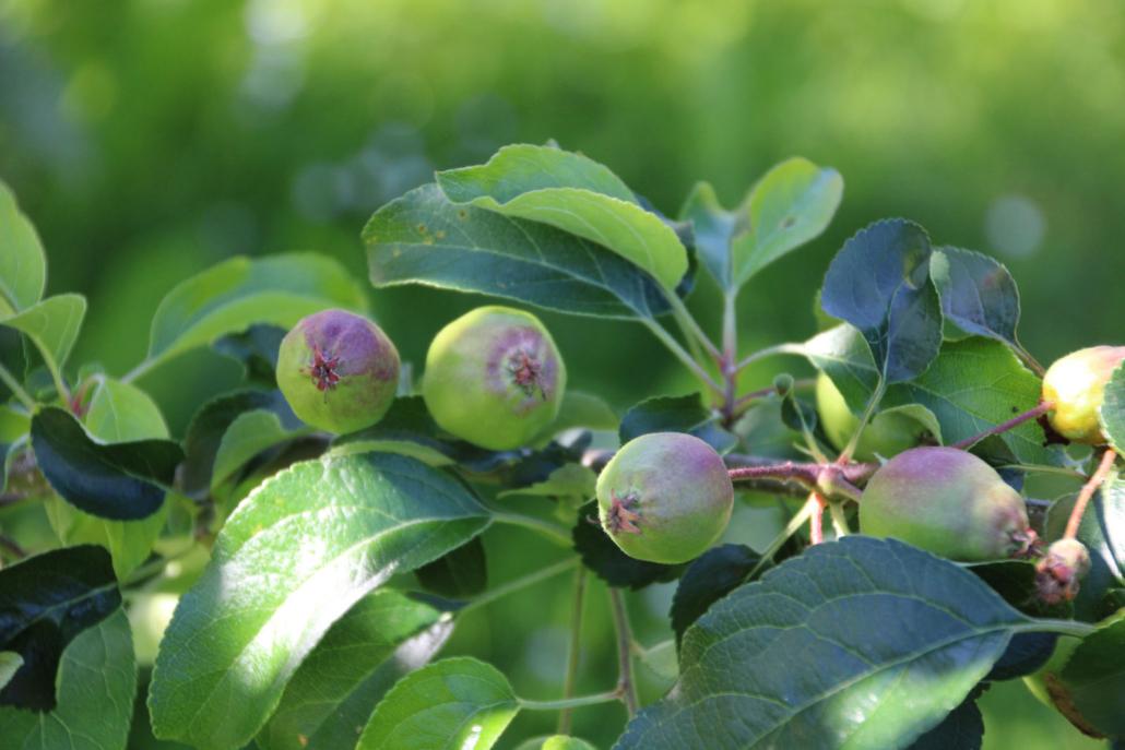 Obstbaum Apfel