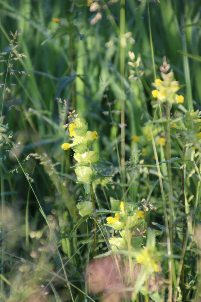 Blumenwiese Klappertopf