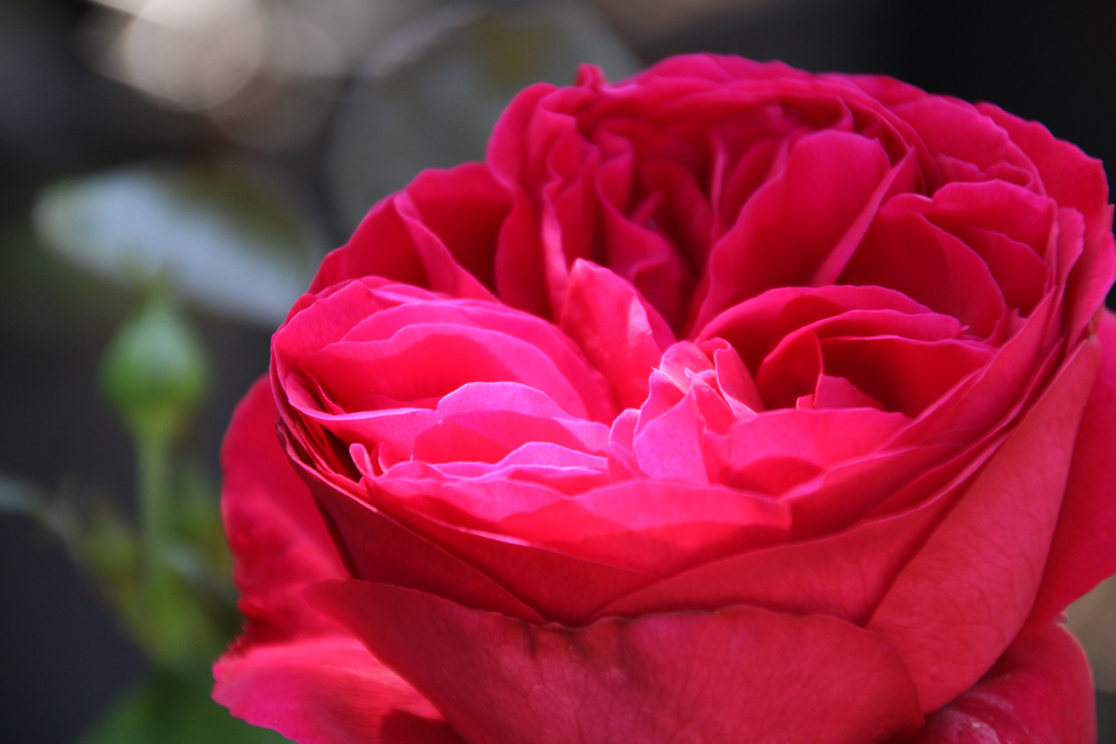 Rosen Rose rot